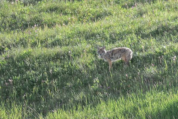 6 2013 Jun 25 & 26 Coyote Family*