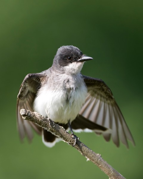 Kingbird Spreading Wings.jpg