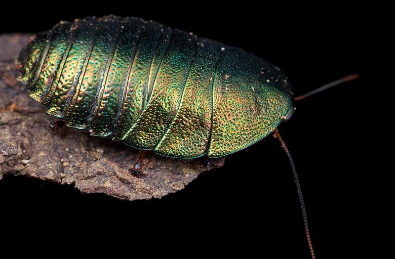Iridescent green pill cockroach