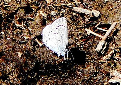508SilveryBlueV July 3, 2010 - 9:27 a.m.  P1060508 Silvery Blue, Glaucopsyche lygdamus. Grand Co., Rd 50 2.5 mi se of 40