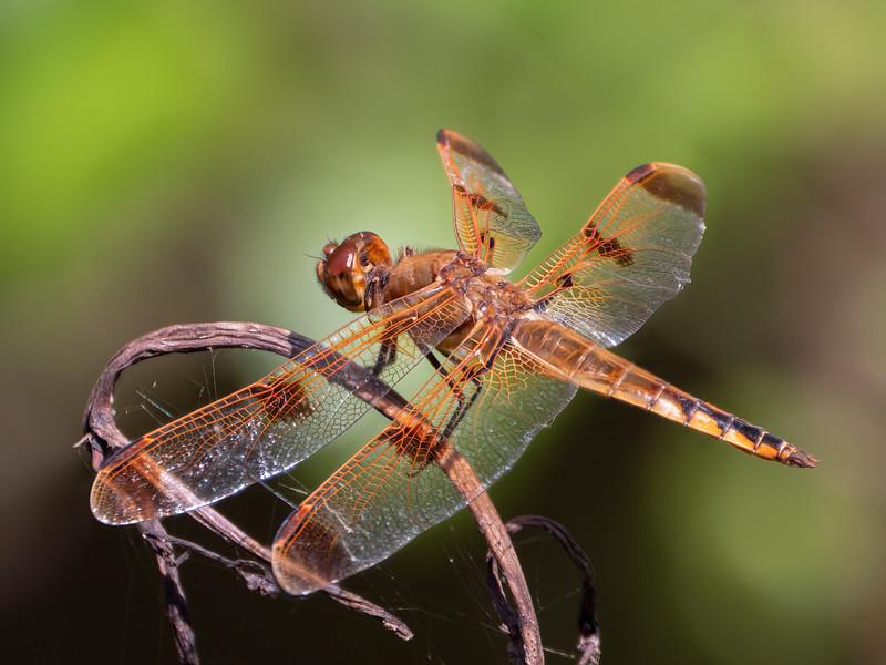 Painted Skimmer (Libellula semifasciatus), male