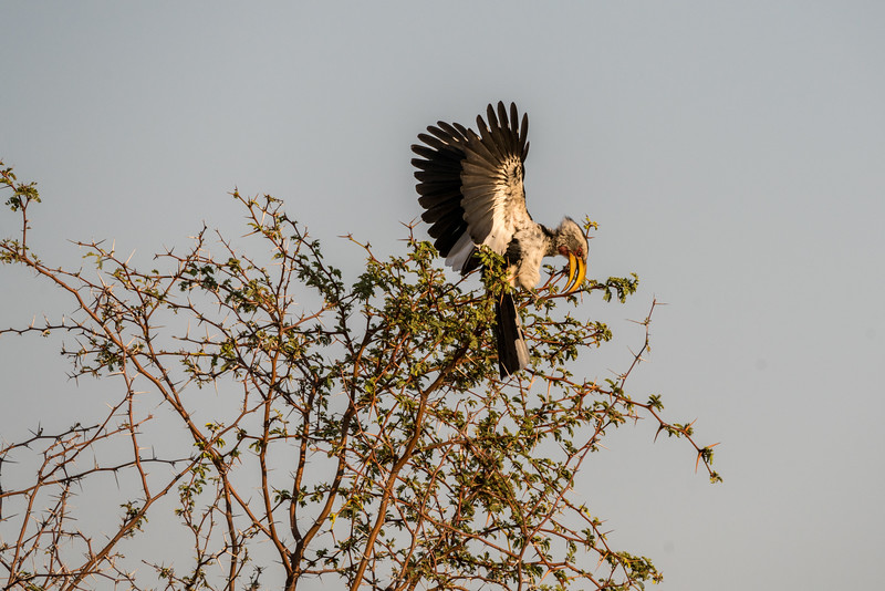 Yellow Hornbill in Acacia