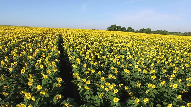 Sunflowers.mp4