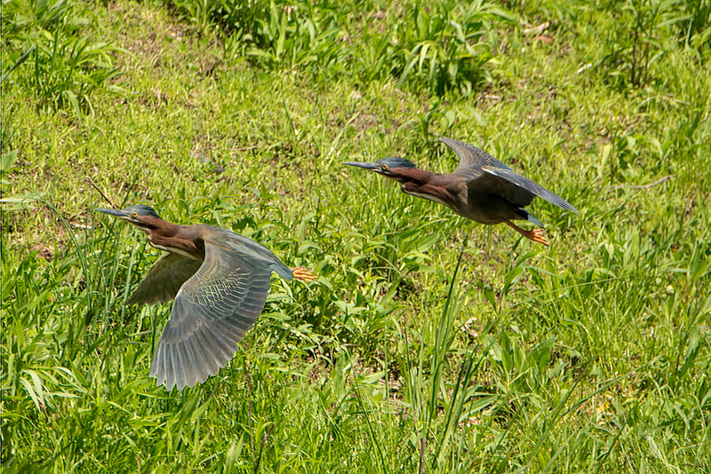 Green Heron Pan.jpg