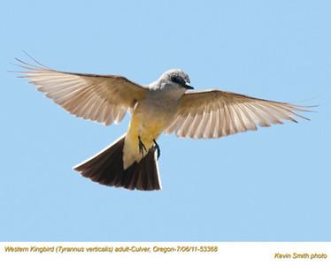 WesternKingbirdA53368.jpg