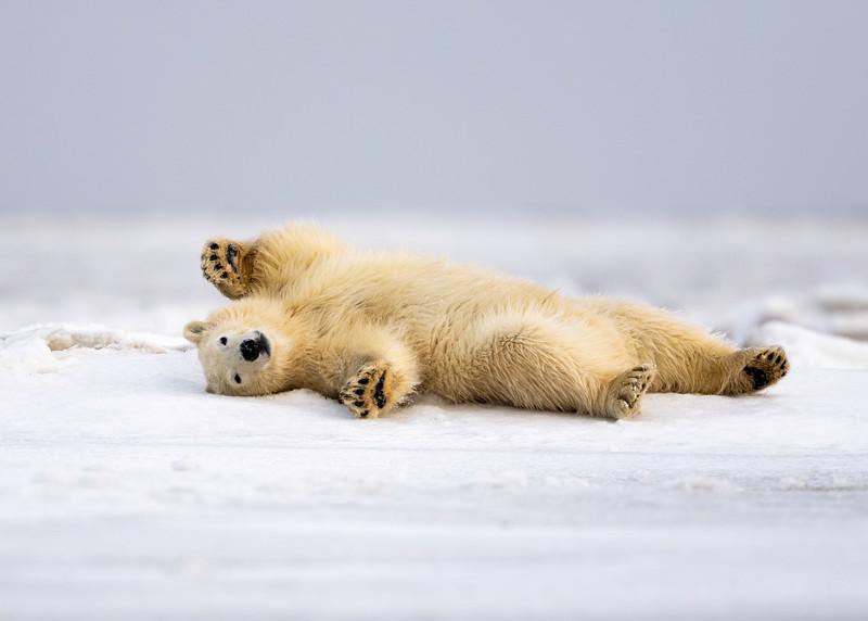 Polar Bear Strecth