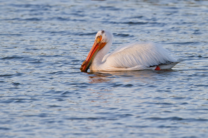 American White Pelican floats lazily on a local pond in the Denver suburbs