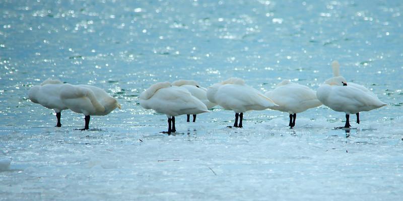 Tundra swan gotta scratch.jpg