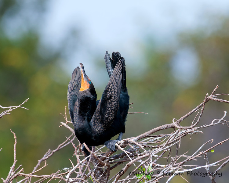 Cormorant Doub Crest display_7266.jpg