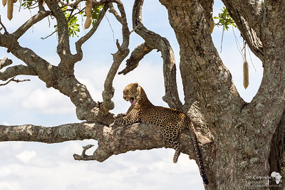 Leopard in a Sausage Tree