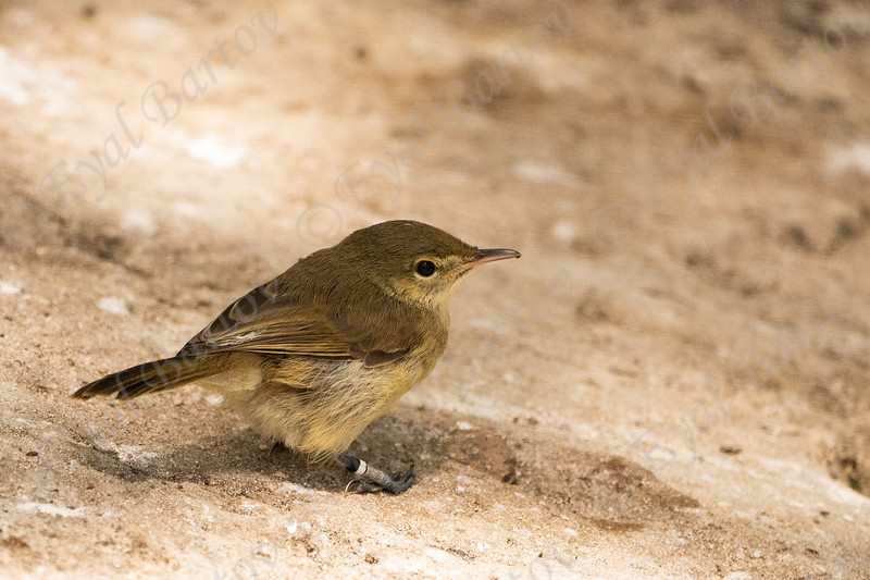 Seychelles warbler (Acrocephalus sechellensis), also known as Seychelles brush warbler.jpg