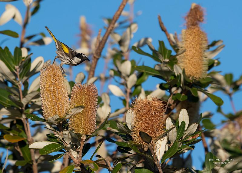White-cheecked Honeyeater, Woolgoolga, NSW, Aus, Aug 2017-3.jpg