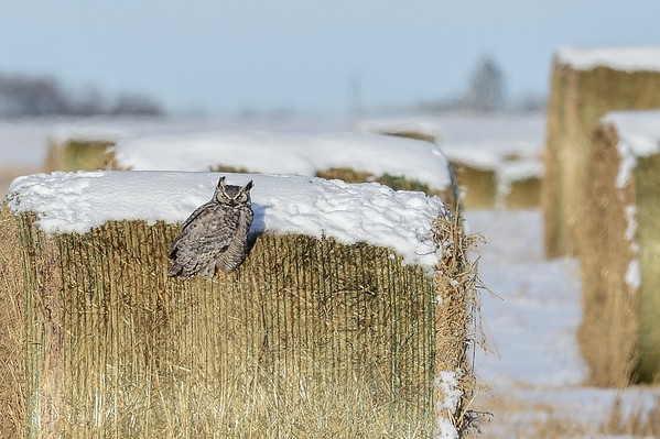 12-30-15 Great Horned Owl - Hay Bale