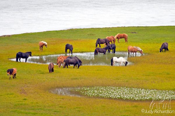 Iceland Animals