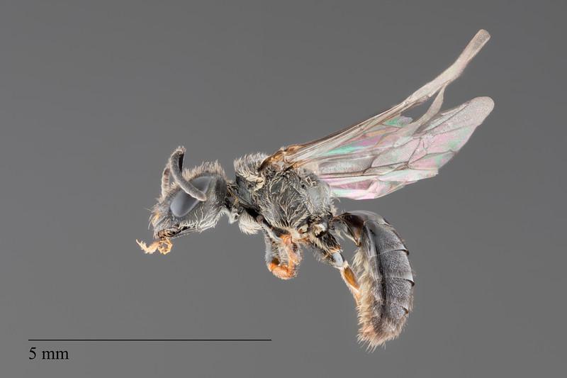 Homalictus achrostus