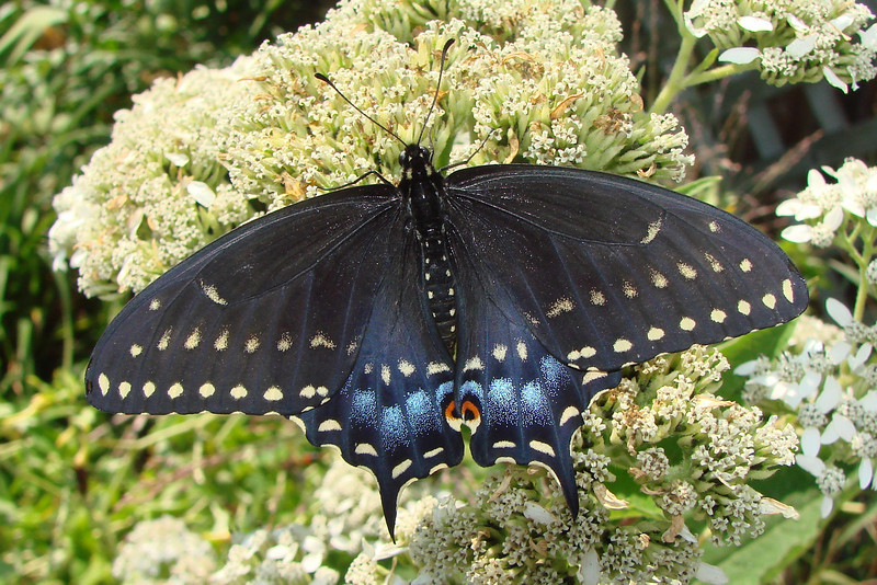 Black Swallowtail (Papilio polyxenes) female. TX: Tarrant Co. (Duhons' Fort Worth yard), 28 September 2008.