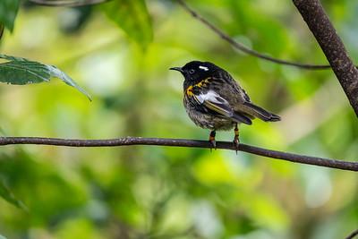 Stitchbird [Notiomystis cincta]