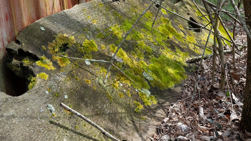 lichen and moss on redwood slab