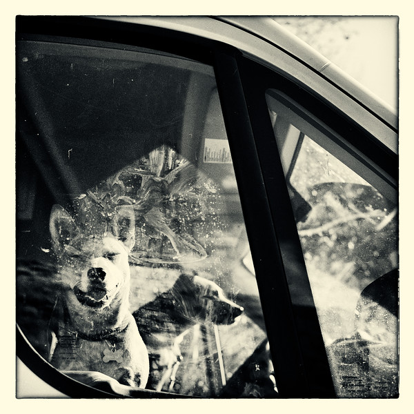 1-Dogs-driving-in-a-van-Rolleiflex.jpg
