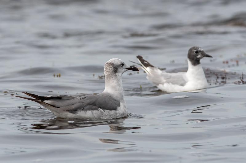 Laughing Gull and Bonaparte Gull