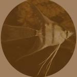 angel fish 2