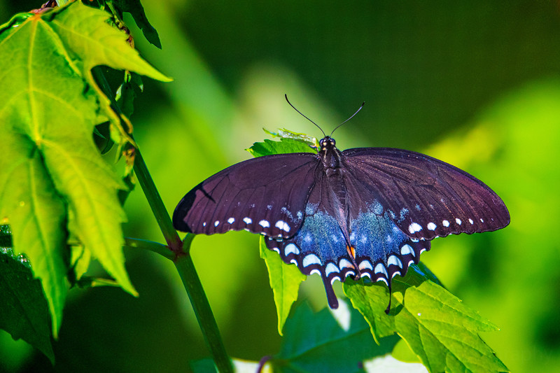 6.6.20 - Female Black Swallowtail.  Found this beauty out by the lake today.