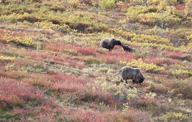 A Mamma Brown Bear and two 2-year old cubs.