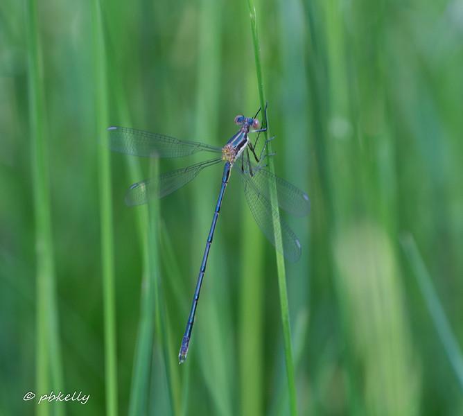 06-01-17.  Swamp Spreadwing Male.