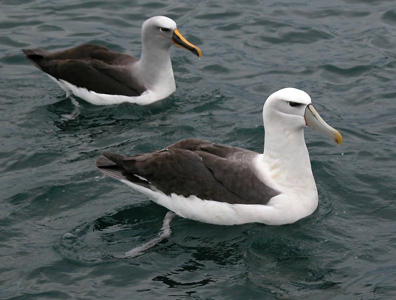 New Zealand - Buller's Albatross and White-capped Albatross