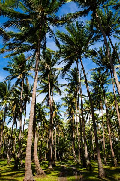 palms  photo wolcott.jpg