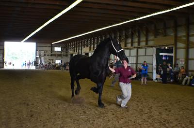 636 Grand Champion Percheron Mare
