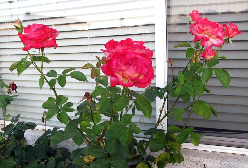 home_roses.jpg