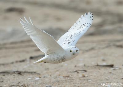 Snowy Owl 20141221