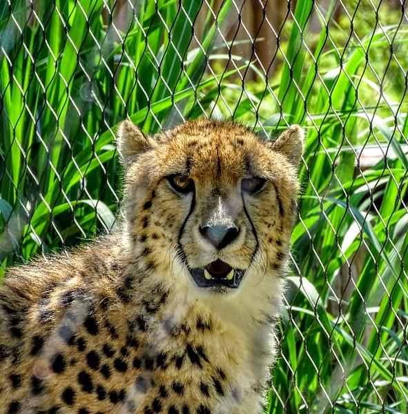 Cheetah Columbus Zoo
