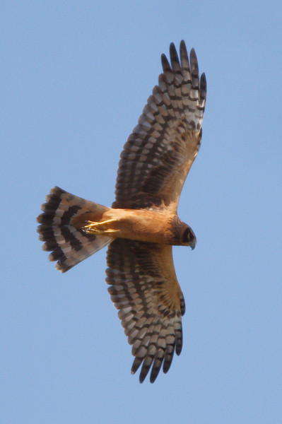 Northern Harrier juvenile (5) at Firebaugh, CA (07-18-2009)