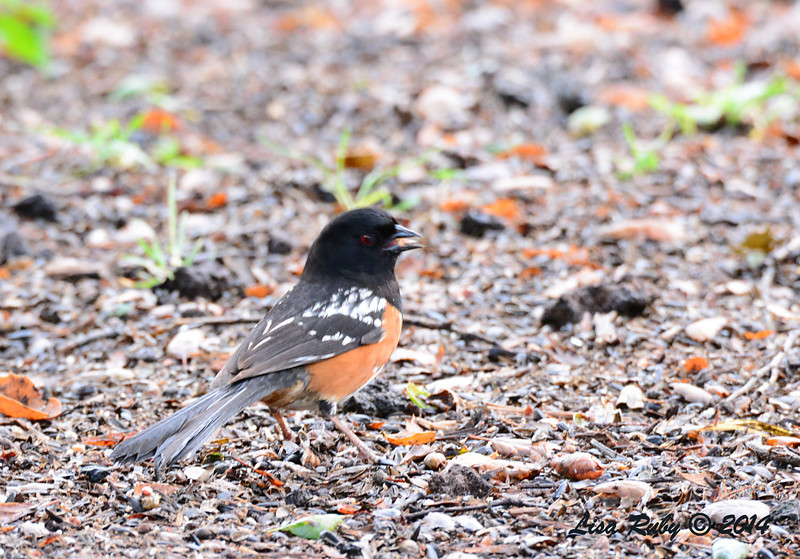 Spotted Towhee  3/2/14 - Birding 100 San Diego Bird Festival