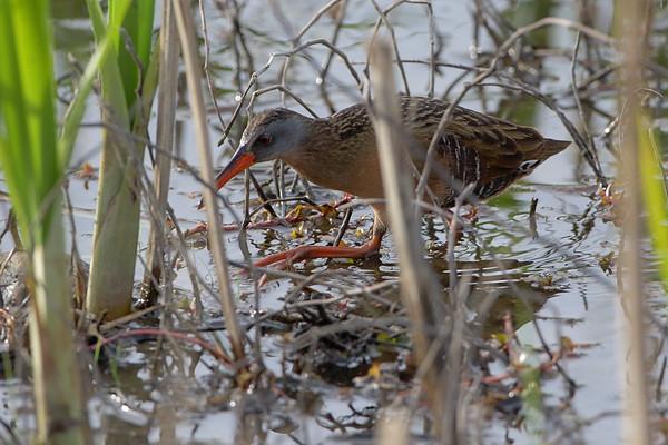 2021-04-26 Riverlands Migratory Bird Sanctuary