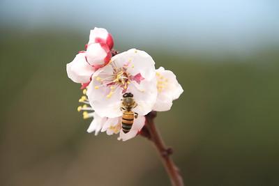 Peach Blossoms_26FEB2017