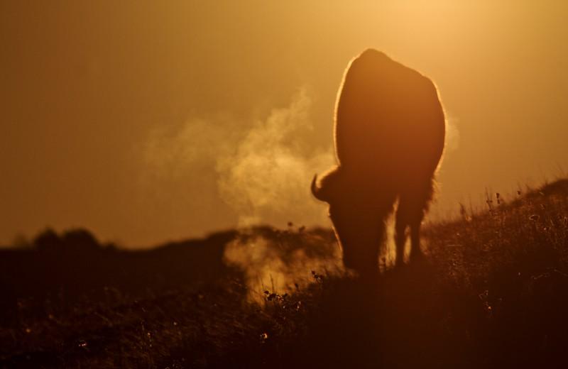 Bison backlit sunrise Teddy Roosevelt National Park ND IMG_5999.jpg