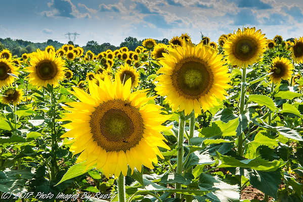 Sun Flowers - 7-9-17