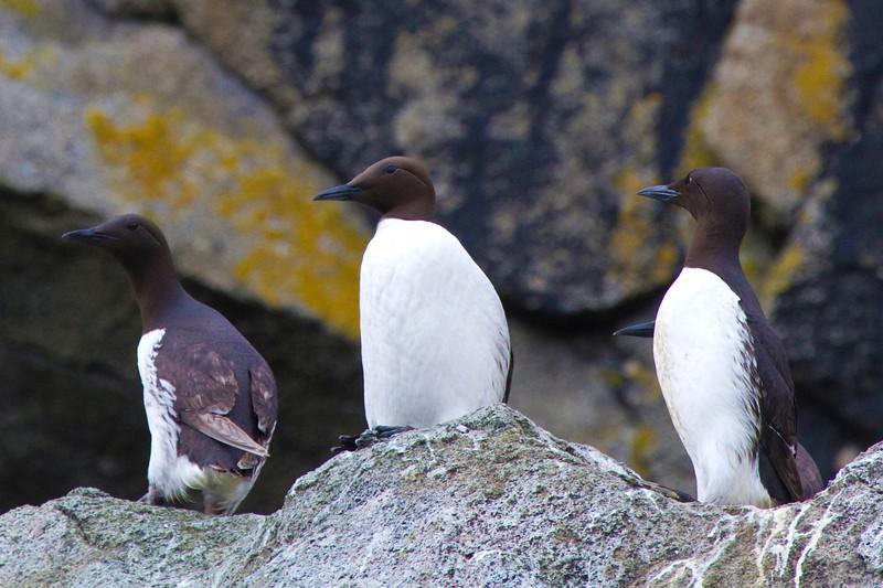 Three common Murres in Aialik Bay, Alaska
