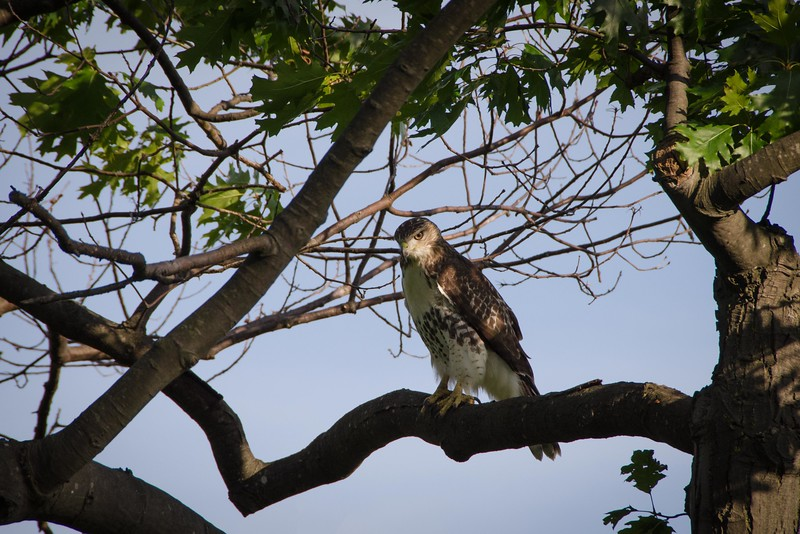 Red-tailed Hawk (immature) on the bluff.
