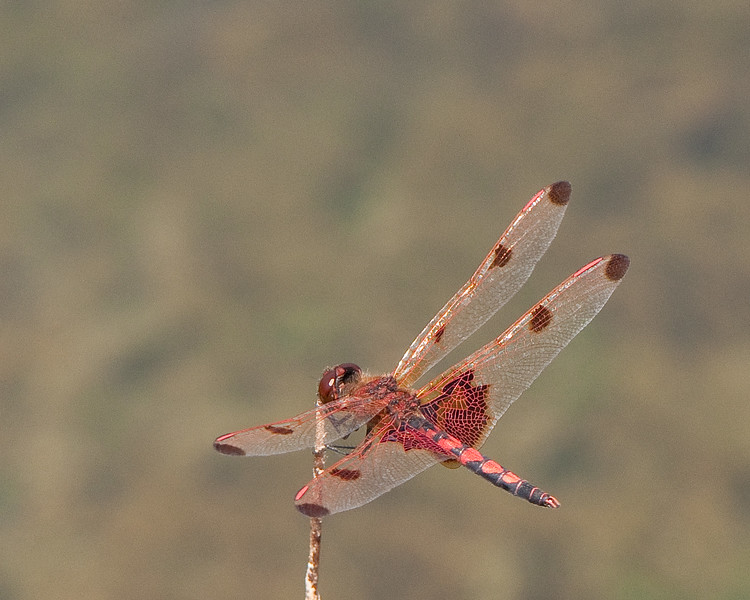 Dragon fly-9.jpg