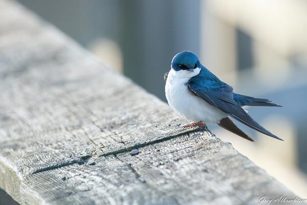 Song Birds - Passerines