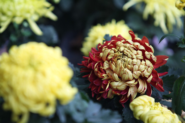 chrysanthemum 菊花