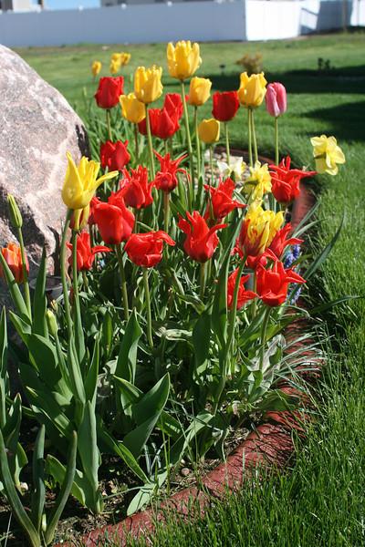 Tulips 2011 002.JPG