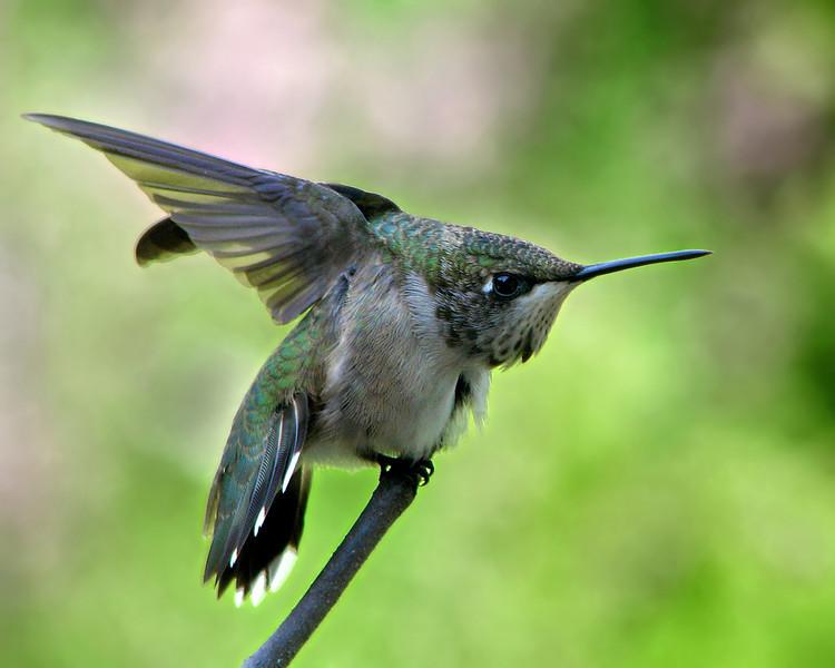 hummingbird_3289.jpg