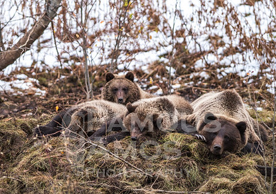Grizzly Bear Family- Grande Prairie,Alberta