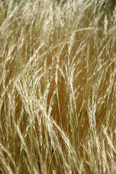 17bigsurwheat.JPG