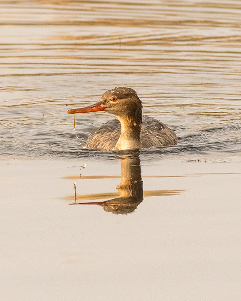 Merganser Reflection